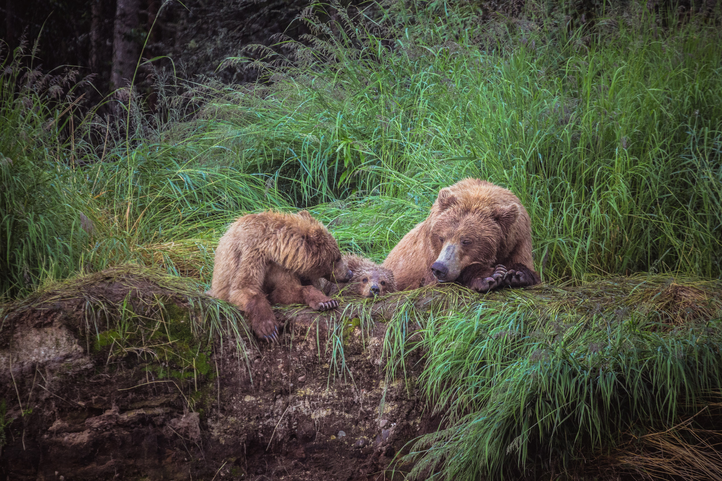 The physical space we give to bears and to ourselves matters a great deal. In the lower 48 states bears have relinquished all but a tiny sliver of their former habitat.