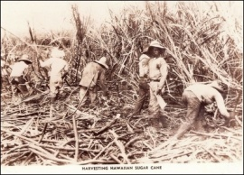 Laborers harvesting sugar cane by hand on plantation in Hawaii.