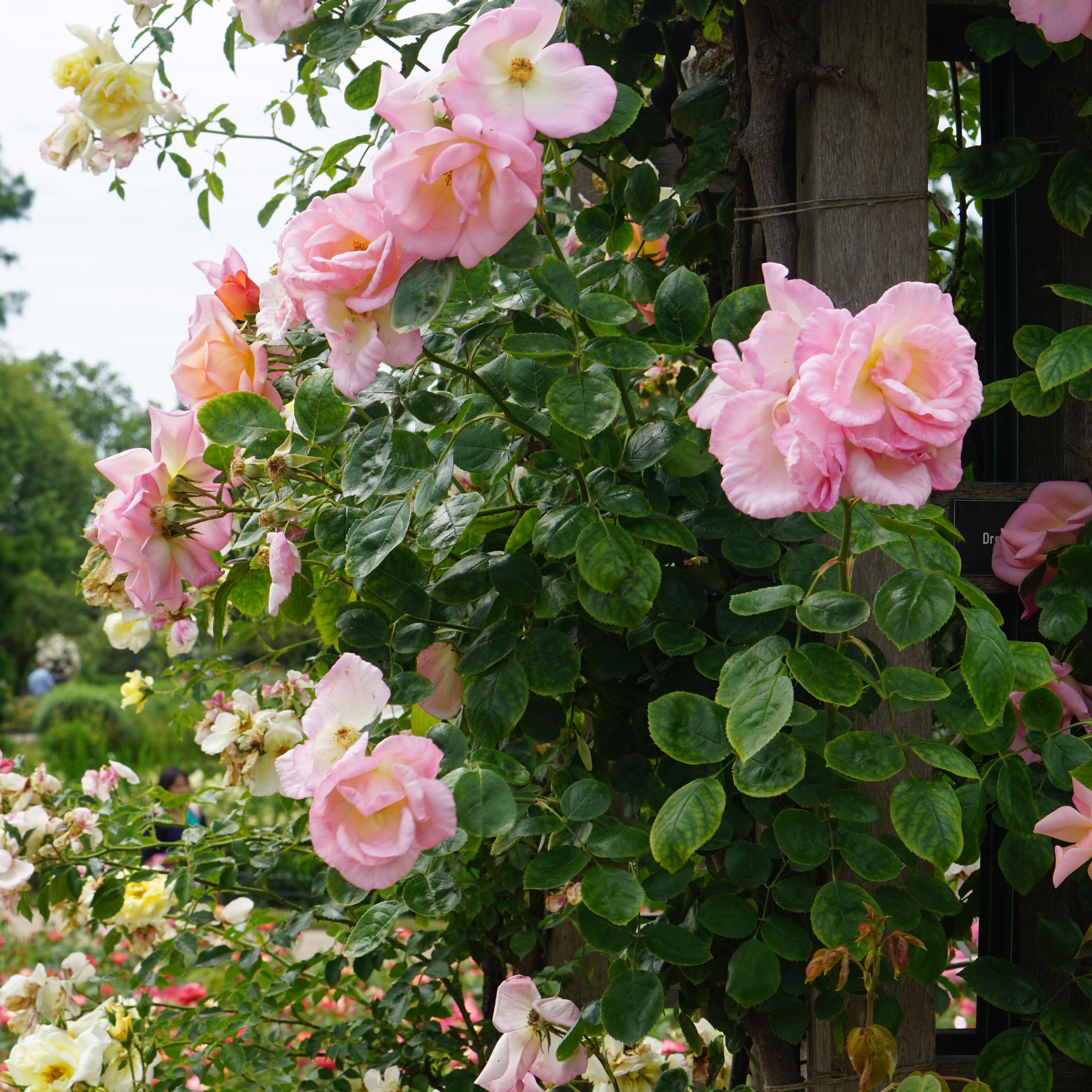Incredible rose garden in Regent Park