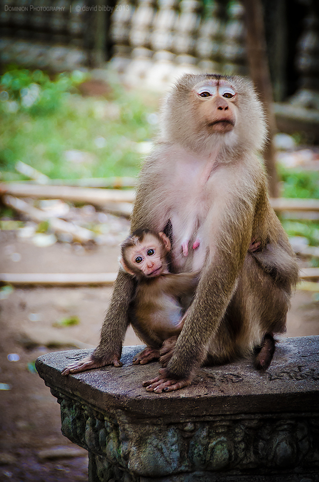 Monkeys  - Monkeys are prolific among the temples on the top of 'Man Mountain'. Phnom Pros, Kampong Cham, Cambodia.