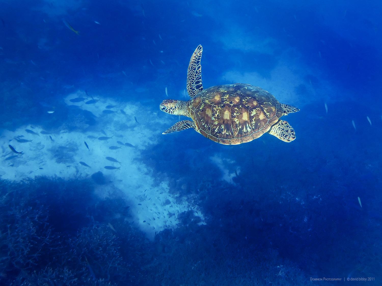 Flying in a blue dream  - Green turtle. Heron Island, Great Barrier Reef.