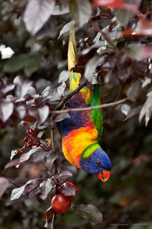 Rainbow lorikeet, Melbourne.