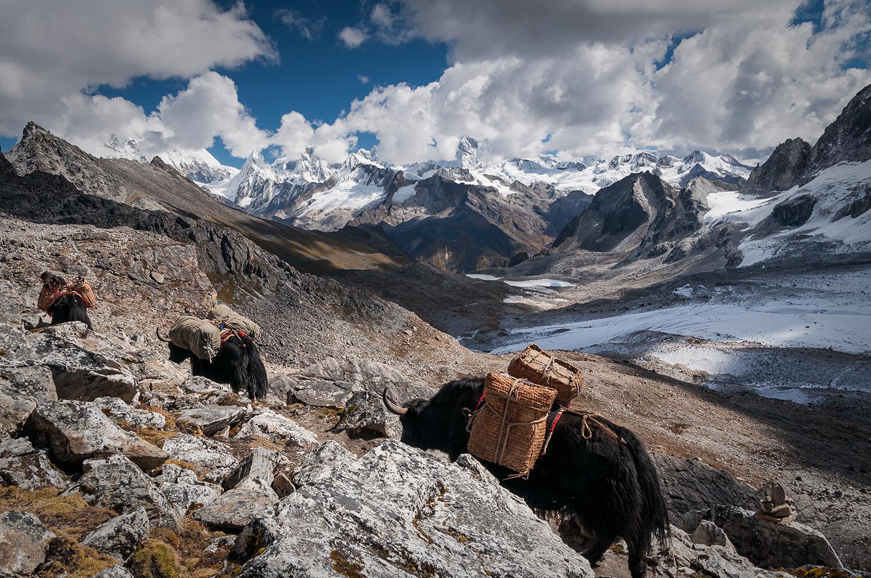 Yaks crossing Karchung La (5120m). Snowman trek.