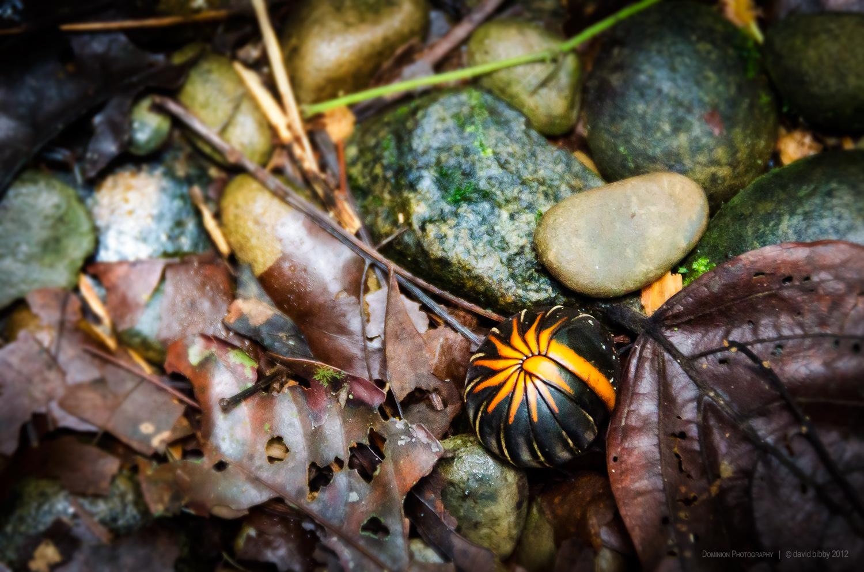 Jungle gem  - Pill millipede in the defensive position. Headhunter's Trail, Gunung Mulu National Park, Sarawak, Borneo.