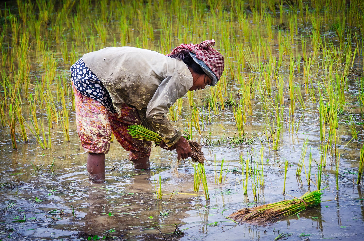 Hard labour  - Planting rice is very hard work and not great for the spine. Kampong Cham Province, Cambodia.
