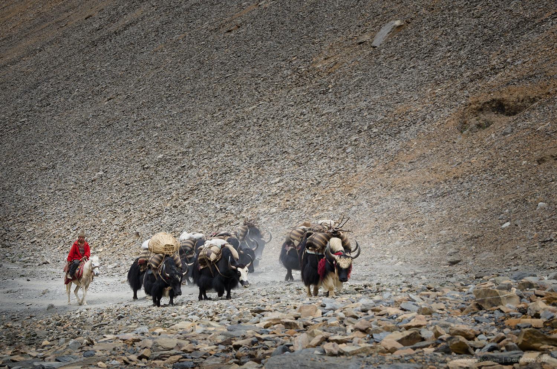 Yaks ascend towards Bagala La (5169m). Dolpa district.