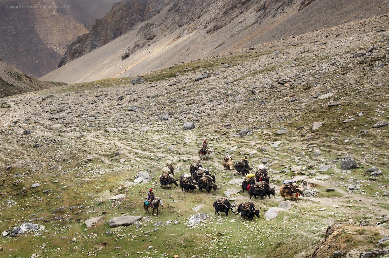 Yaks below Bagala La (5169m). Dolpa district.