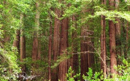 Mendocino redwood trees