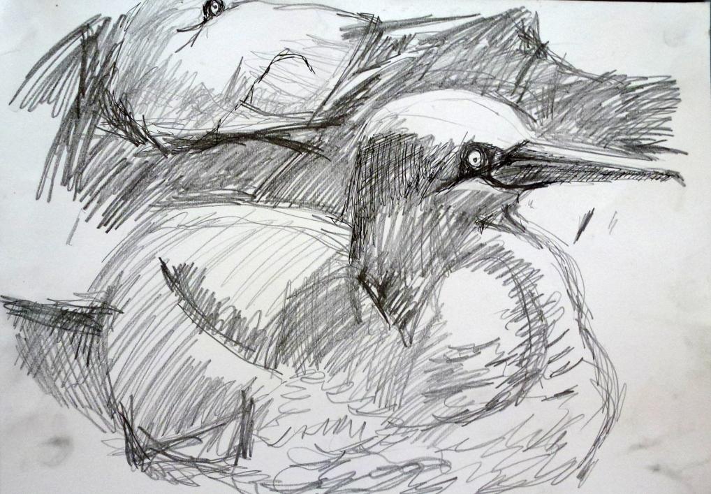 gannet sketch 1.JPG