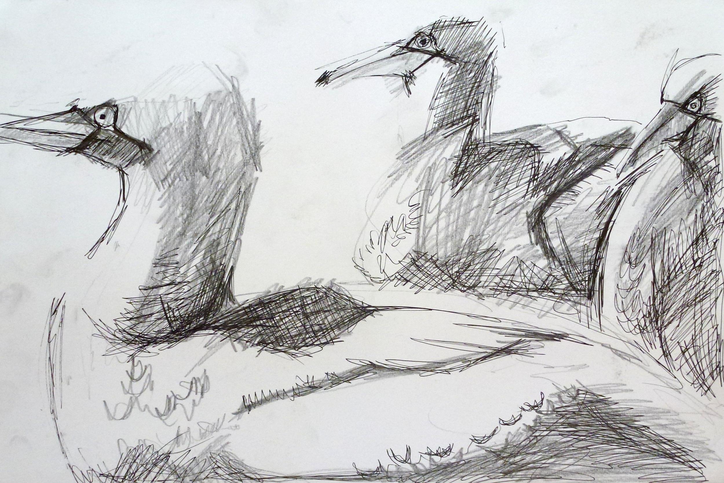 gannet sketch 2.JPG
