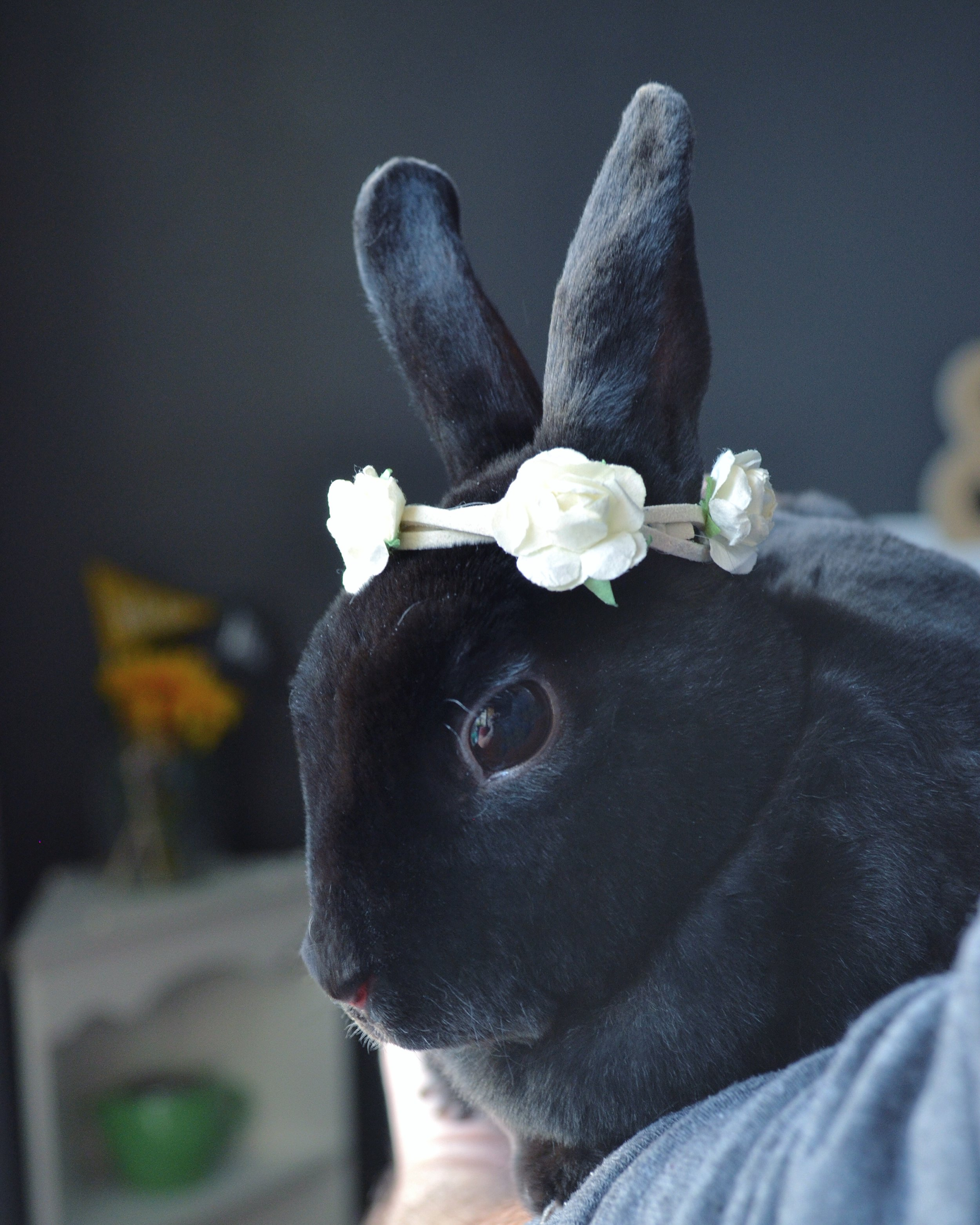 #1 AURORA // We adopted our 2nd gorgeous rex rabbit. She is a velvet loving spitfire that brings so much joy into our lives.