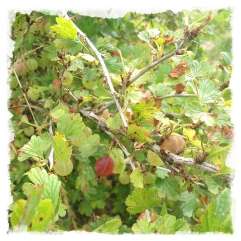 Krusbär i vår trädgård