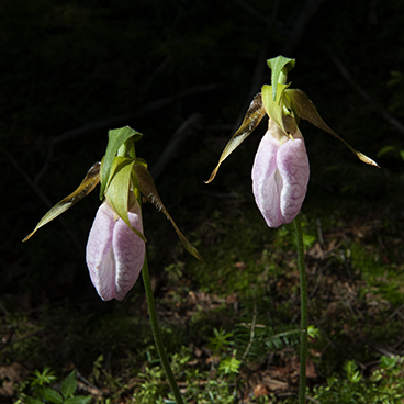 Lady slippers_©acfallen.png