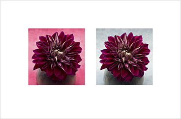 Local Color 7 (Pink dahlia)