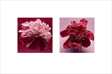 Local Color 8 (Peonies)