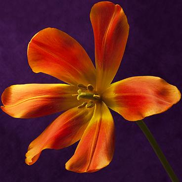 Orange 8 (Tulip, right)