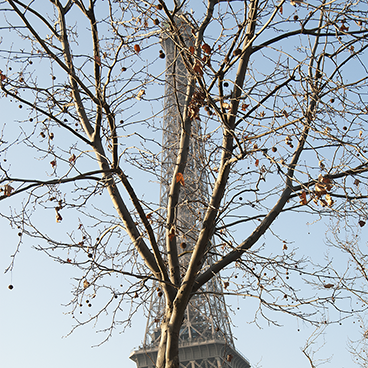 Paris Eiffel plane tree_©acfallen.png