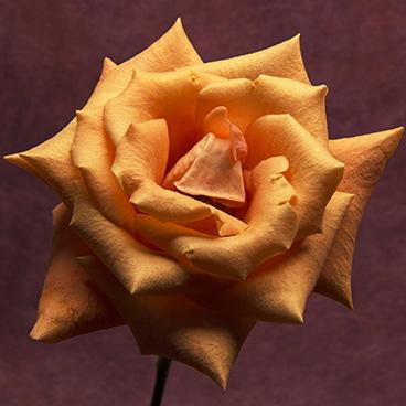 Orange 10 (Rose)
