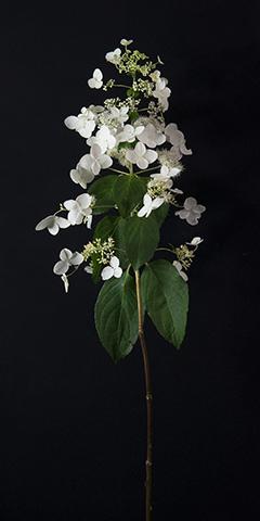 Limelight 6 (Lace-cap Hydrangea)