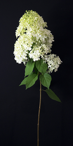 Limelight 7 (Hydrangea)