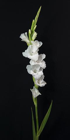 Limelight 8 (Gladiola)