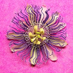 Passionflower 1 (Magenta)
