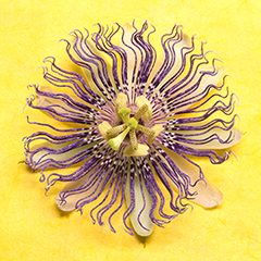Passionflower 2 (Yellow)