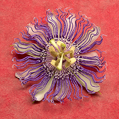 Passionflower 4 (Red)