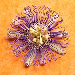 Passionflower 5 (Orange)