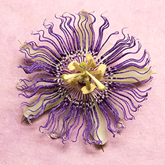 Passionflower 8 (Pale pink)