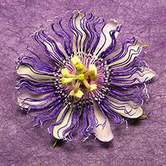 Passionflower 9 (Purple)