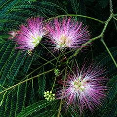 Small 12 (Mimosa)