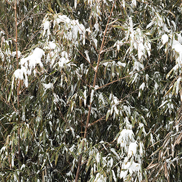 snow on bamboo 19_©acfallen.png