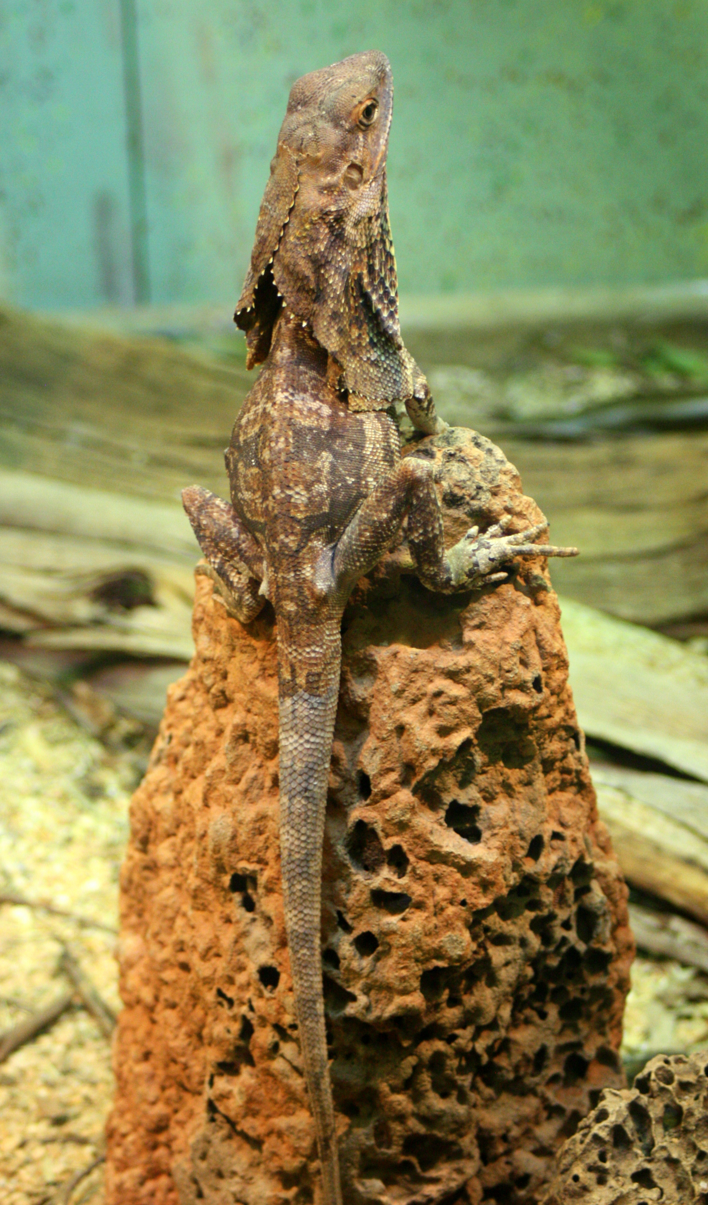 Lizard (2013)