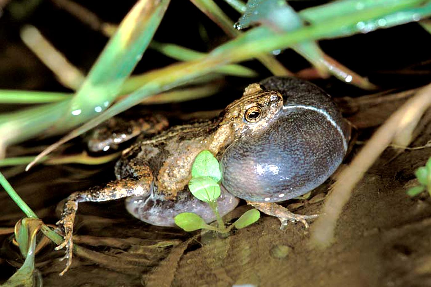 live frog