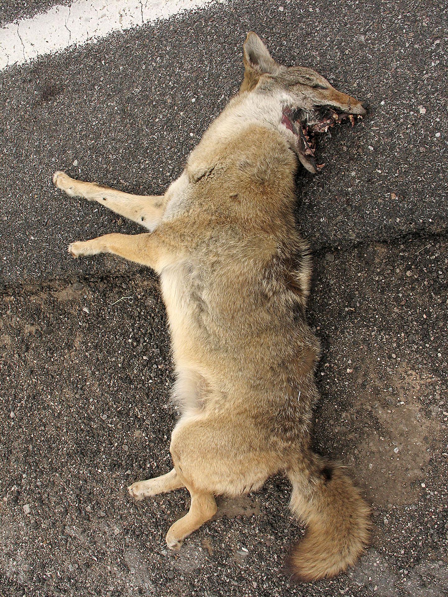 mar050156_dead_coyote.jpg