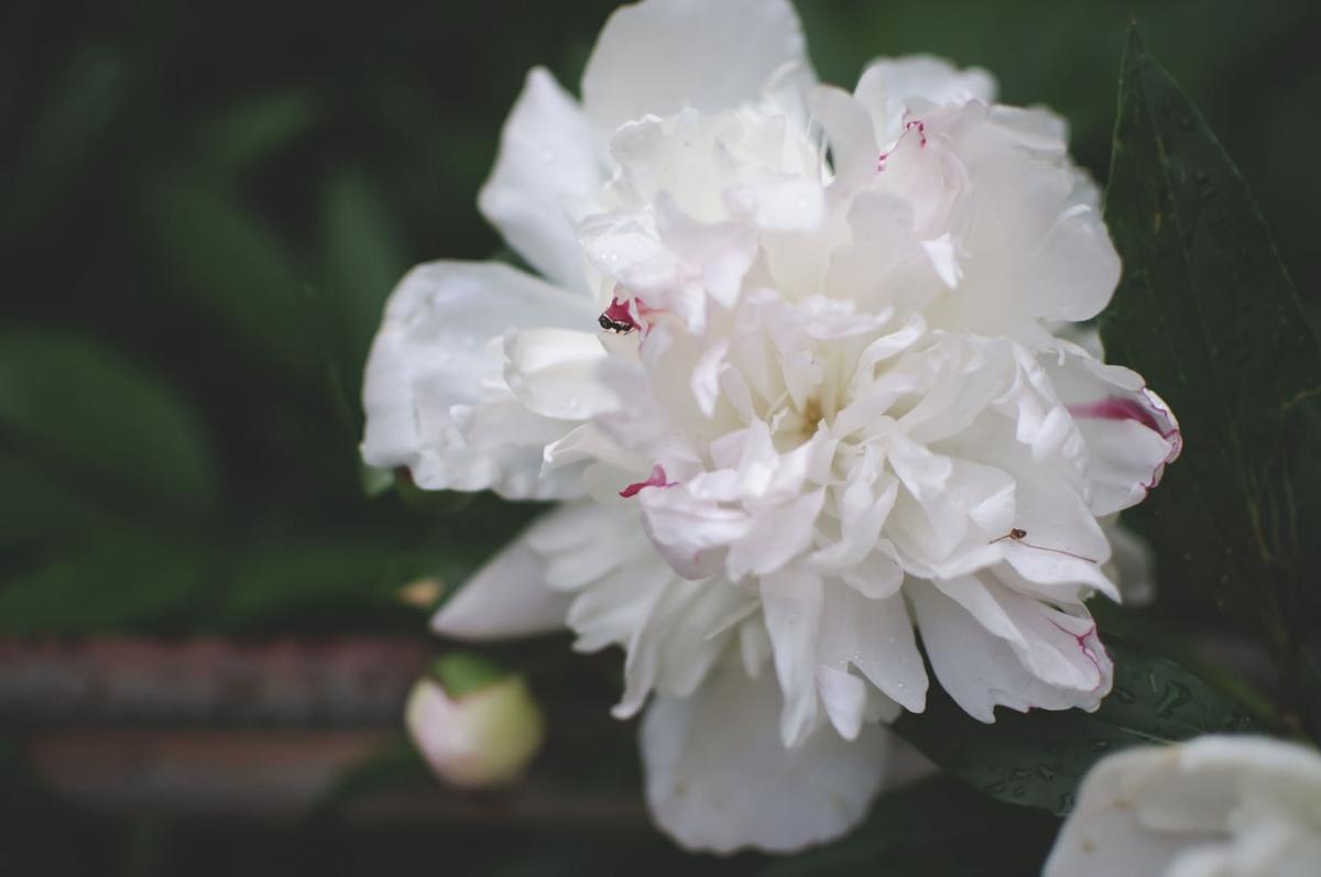 white peony (1200x797).jpg