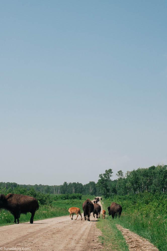 bison riding mountain manitoba lune blog (14 of 16).jpg