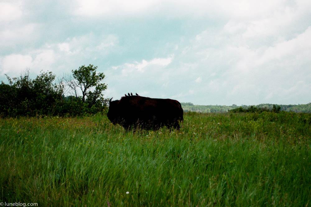 bison riding mountain manitoba lune blog (12 of 16).jpg