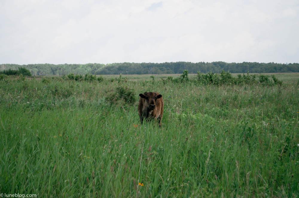 bison riding mountain manitoba lune blog (11 of 16).jpg