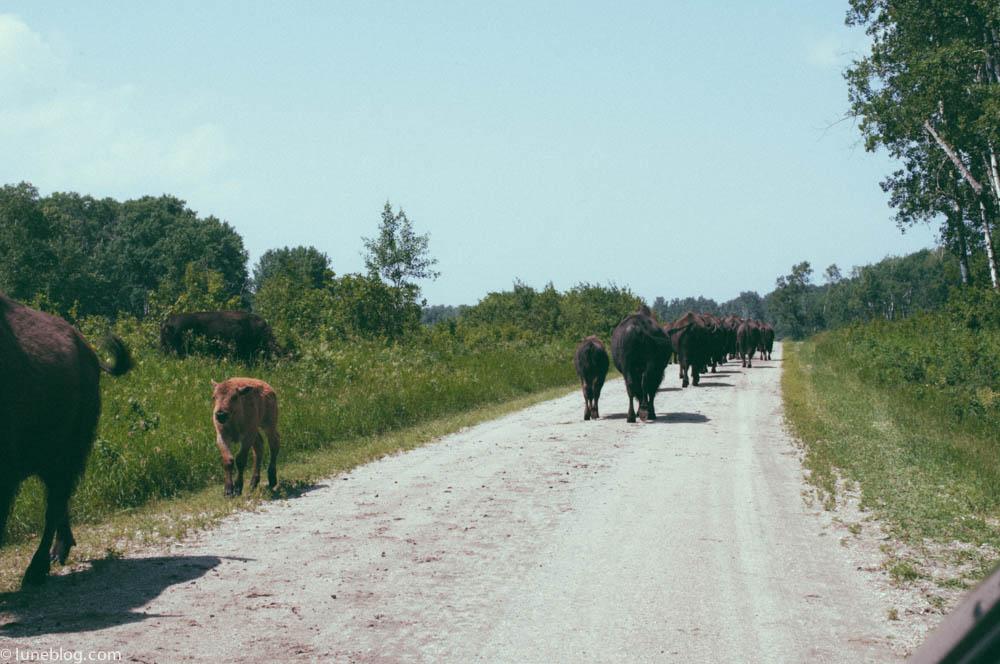 bison riding mountain manitoba lune blog (13 of 16).jpg