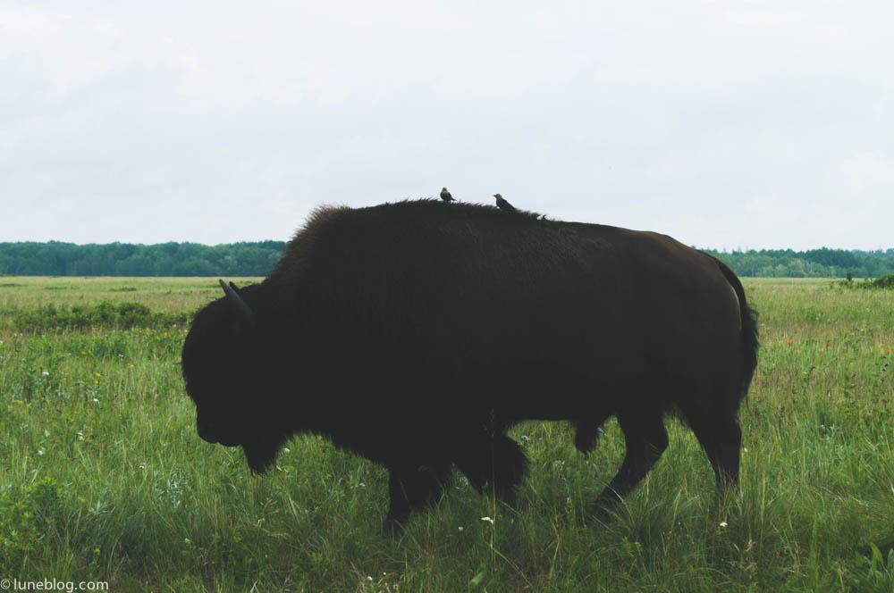 bison riding mountain manitoba lune blog (7 of 16).jpg