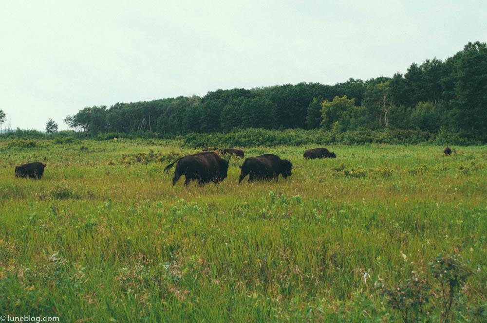 bison riding mountain manitoba lune blog (3 of 16).jpg