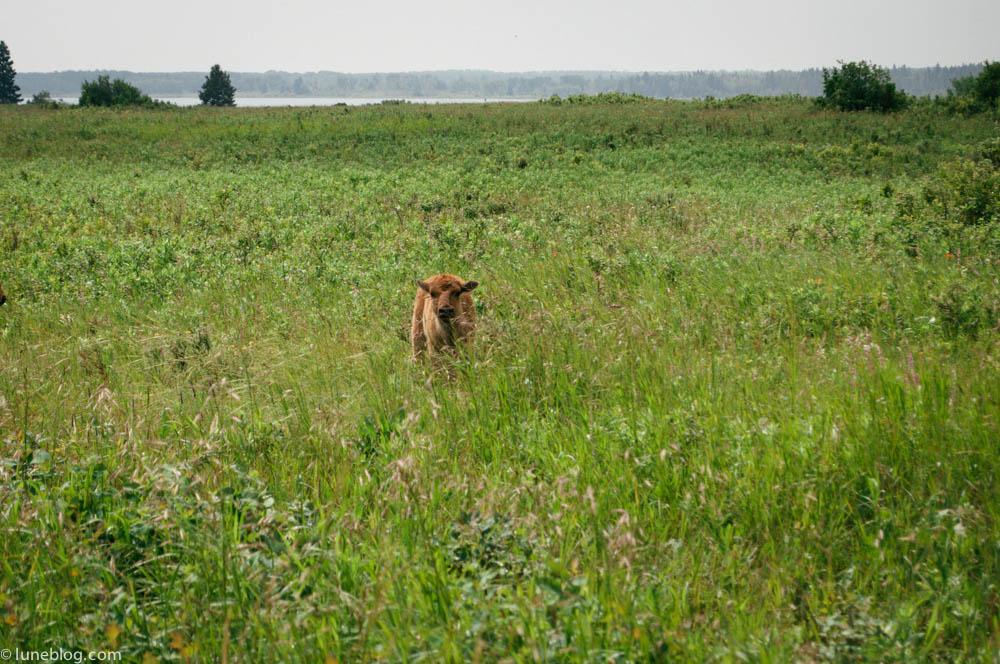 bison riding mountain manitoba lune blog (4 of 16).jpg
