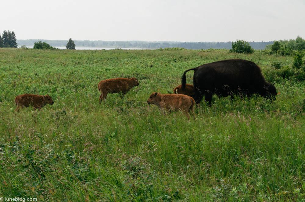 bison riding mountain manitoba lune blog (5 of 16).jpg