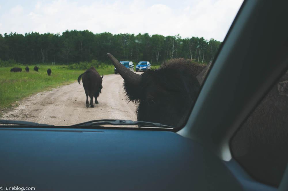 bison riding mountain manitoba lune blog (10 of 16).jpg