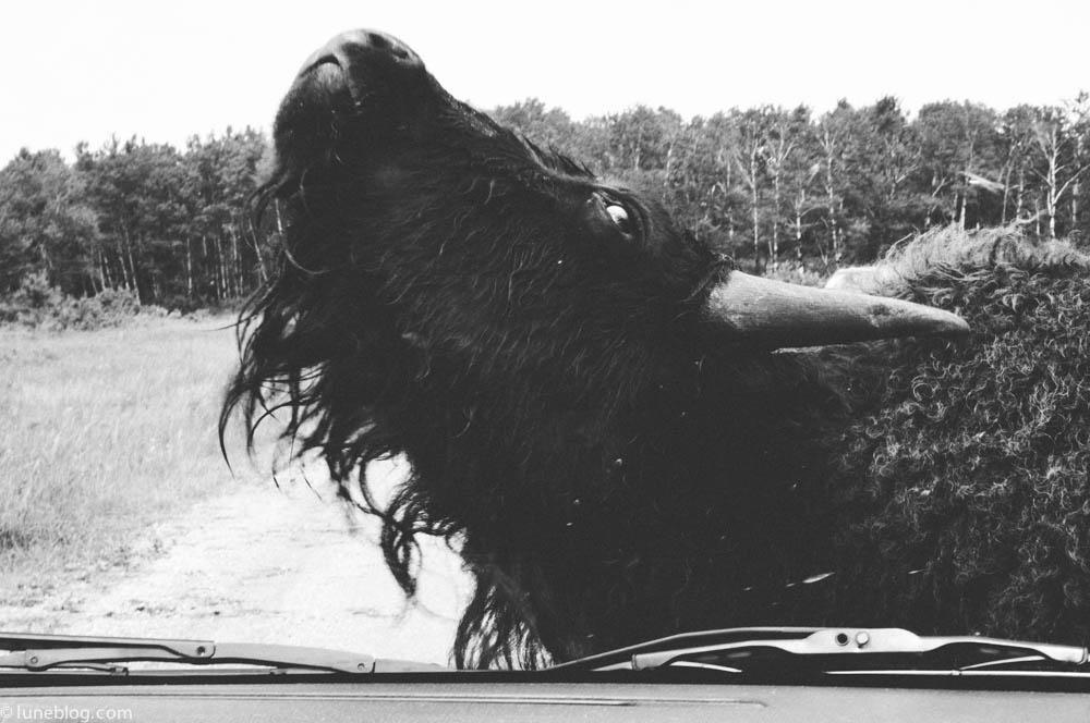 bison riding mountain manitoba lune blog (9 of 16).jpg