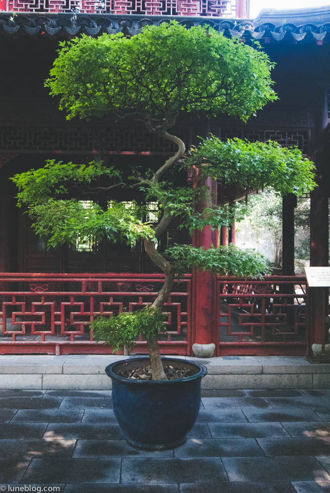 Memories of a former hobby of mine - beautiful Bosai tree in the Yu Garden.