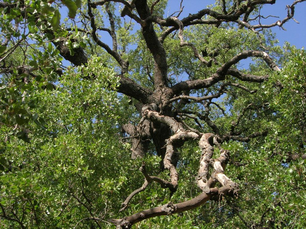 Click photo to download. Caption: An oak tree in Hurshat Tal. Credit: Ram Eisenberg via Wikimedia Commons.