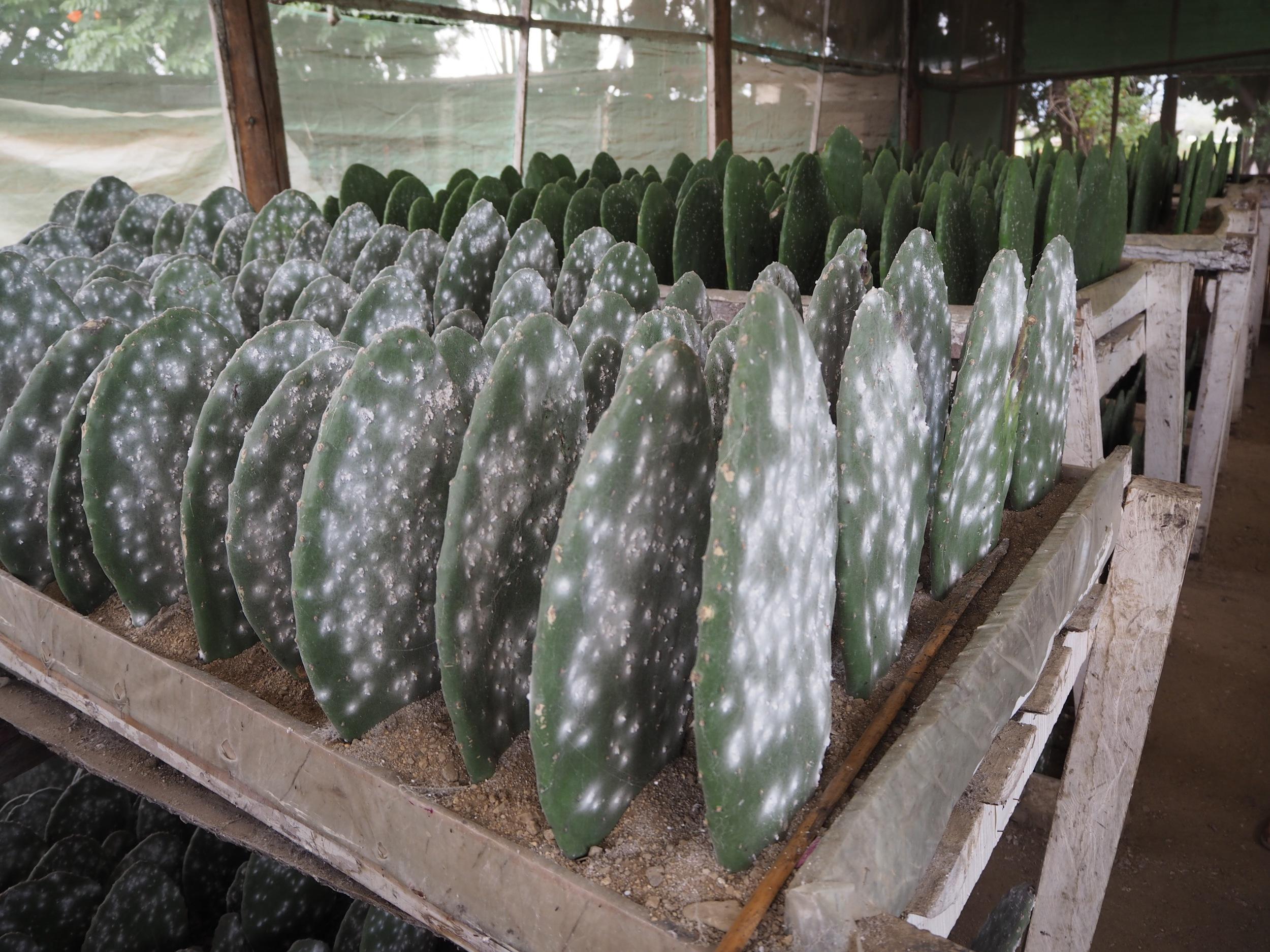 cochineal farm at Tlapanochestli Grana Cochinilla, Oaxaca